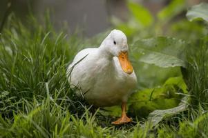 Pekin duck, walking on a riverbank