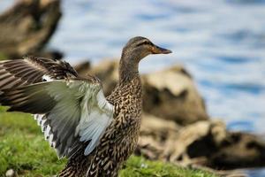 Mallard Duck Spreading Wings