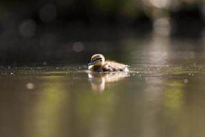patito nadando en un estanque foto