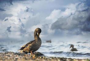 pato en la playa foto
