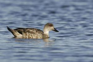 Patagonian crested or Grey duck, Lophonatta speculariodes photo