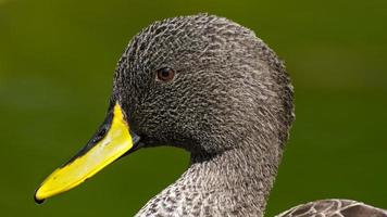 African Yellow-billed Duck