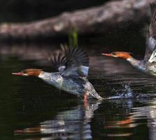 Merganser ducks in flight