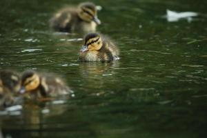 tiny mallard duck