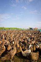granja de patos de corral foto