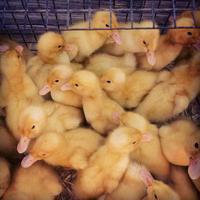 patitos en una jaula. foto