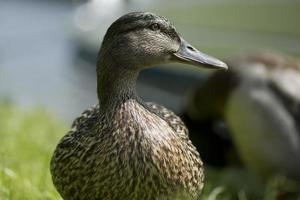 Female mallard duck close up photo