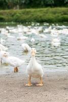 patos en la granja foto
