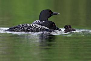 Loon Family