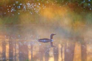 Red throated loon in morrning light