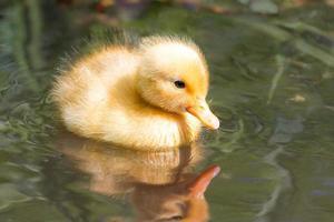 Yellow cute duckling
