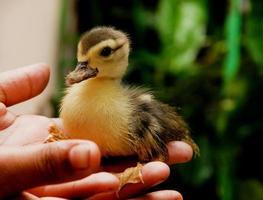 Baby duck photo