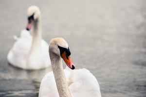 Swan swimming with ducks photo