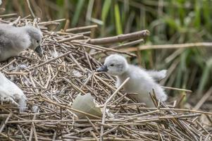 Cygnet climbing back up onto its nest photo