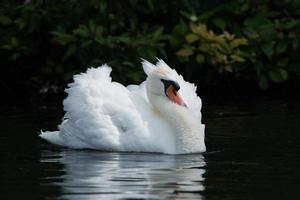 cisne mudo, cygnus olor foto