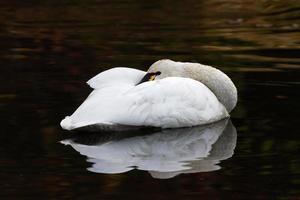 cisne de tundra foto