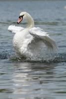 Mute Swan, Cygnus olor photo
