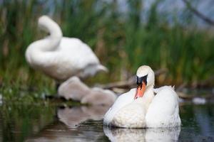 Mute swan family enjoying summer evening photo