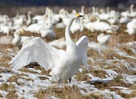 Whooper swan  stretching out its wings