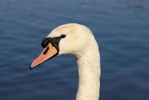 Swans Head Closeup