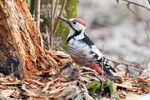 Dendrocopos leucotos, White-backed Woodpecker.