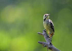 woodpecker, Thailand photo