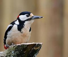 Great Spotted Woodpecker side view