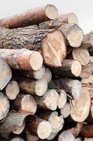 Freshly cut tree pine logs photo