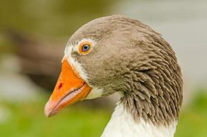 Head goose Portait