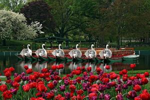 Springtime and Swan Boats at the Boston's Public Gardens photo