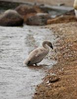Signet coming out of the sea photo