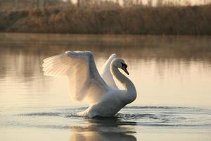 Swan at dawn photo