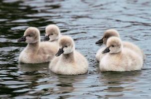 Black Swan Juvenile photo