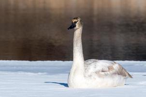 cisne de tundra