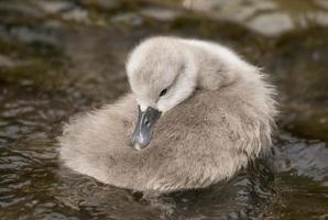 Cygnet resting in the river, close up photo