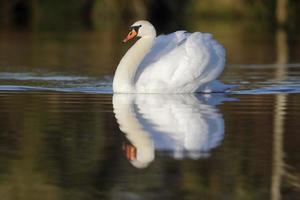 Mute swan,Cygnus olor photo