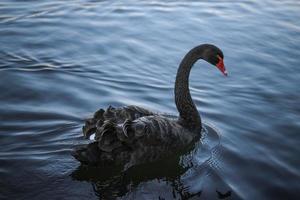 Black Swan photo