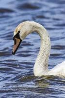 Feeding swan photo