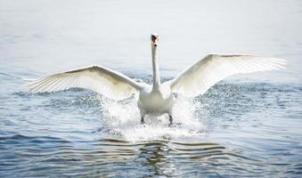 landing mute swan