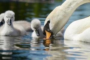 cisne mudo - pichones foto