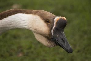 Swan goose-Anser cygnoides, head shot, close up
