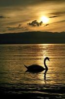 Lonely swan sunset photo