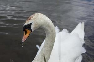Swan with a water droplet