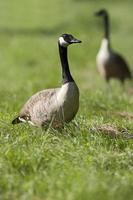Branta canadensis photo