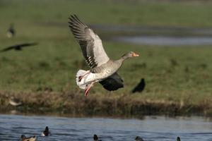 Greylag goose, Anser anserr