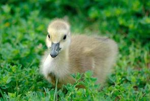 fluffy gosling photo