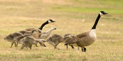 Canada Geese and Goslings photo