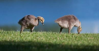 Goslings eating photo