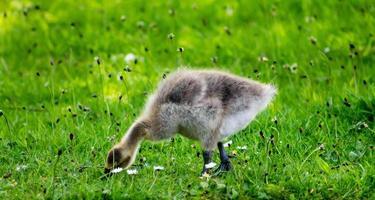 Baby Gosling