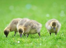Greylag Goose (Anser anser) photo